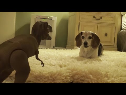Beagle extremely skeptical (and jealous) of roaring T-Rex toy