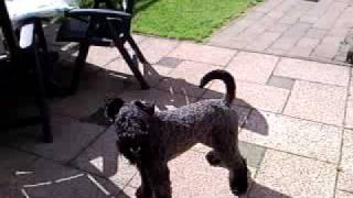Kerry blue terrier Kazou has to release his energie.