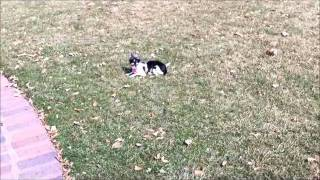 Lucy The Chihuahua Leash Training