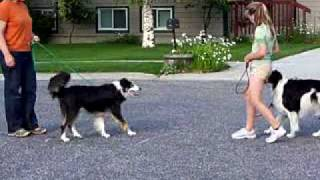 Sidewalk Passing /meet & Greet Practice - Dog Training