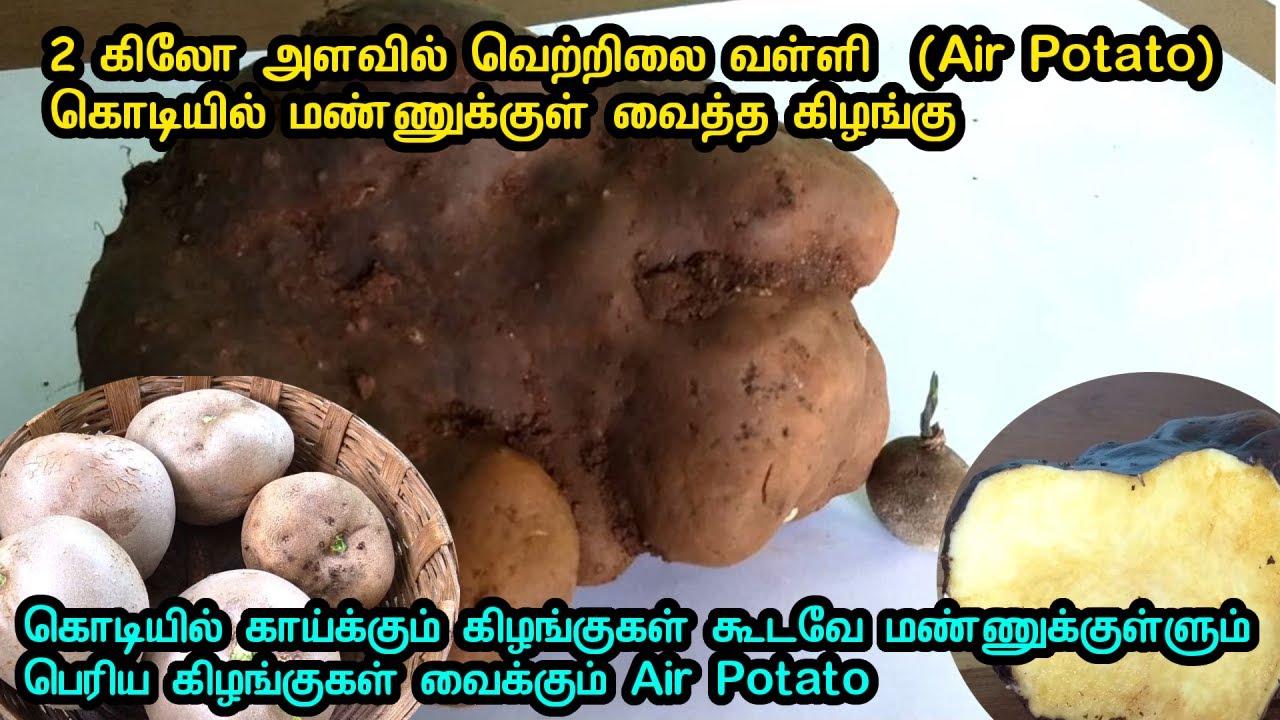 2 கிலோ அளவில் வெற்றிலை வள்ளி  (Air Potato)  கொடியில் மண்ணுக்குள் வைத்த கிழங்கு அறுவடை