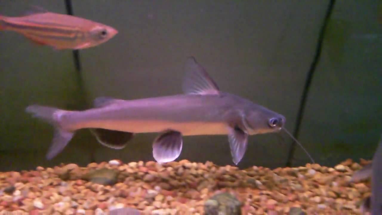 Silver Catfish Shark YouTube