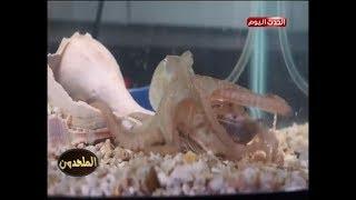 بالفيديو| أخطبوط ينجح في فتح برطمان مغلق ويلتهم فريسته!