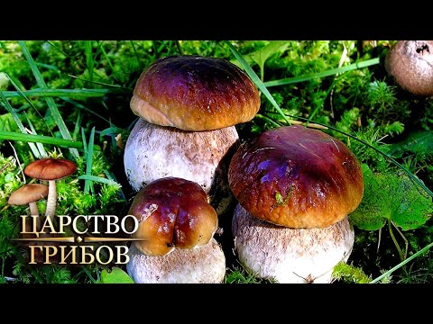 Белые. Царство грибов @Моя Планета