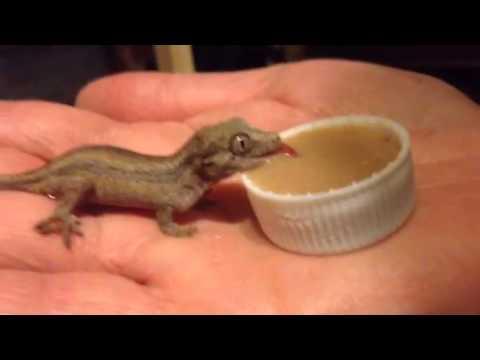 Geckos Food Diet