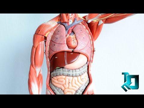 Как устроены внутренние органы человека