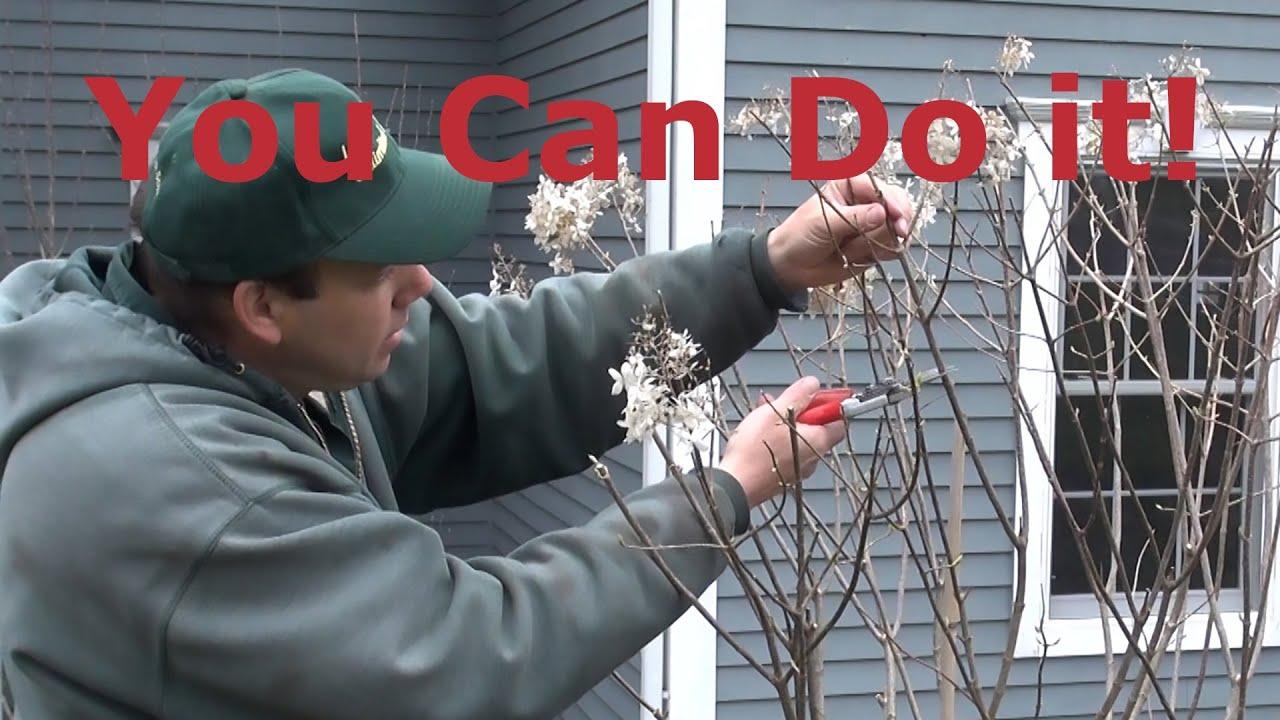 Prune Tree Hydrangea Standard Paniculata