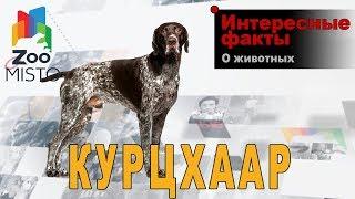 Курцхаар - Интересные факты о породе  | Собака породы  курцхаар