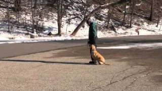 Buddy (labrador Retriever) Obedience Level I. Dog Training