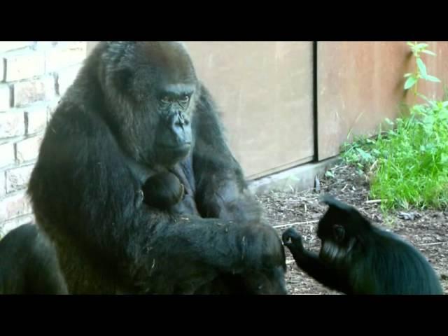 Gorilla geboren in GaiaPark ZOO