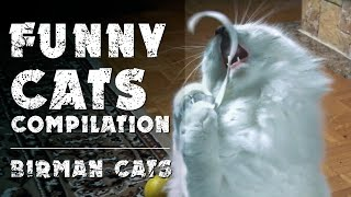 Funny cats compilation | Birman cats