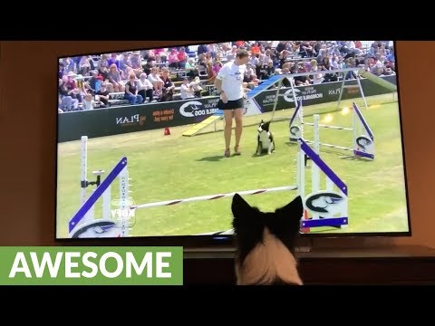 Border Collie Watches Himself Win Agility Competition On TV