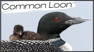 Common Loon Video Compilation (Six Cool Clips!)