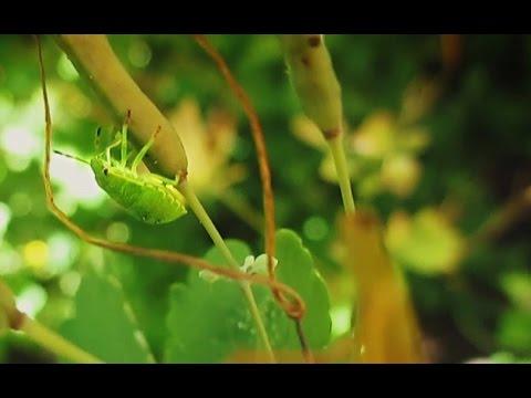 Клоп Щитник зелёный древесный. Как выглядят клопы.  Chinavia Hilaris. Green stink bug.