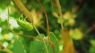 Зеленый клоп: фото