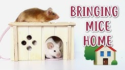 BRINGING MICE HOME | What to do & expect