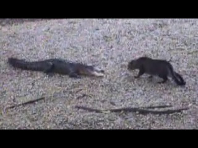 Now Who's The Scaredy Cat? | Alligator vs. Housecat