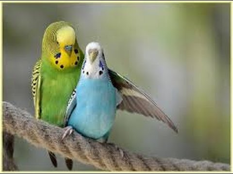 how to understand love birds language