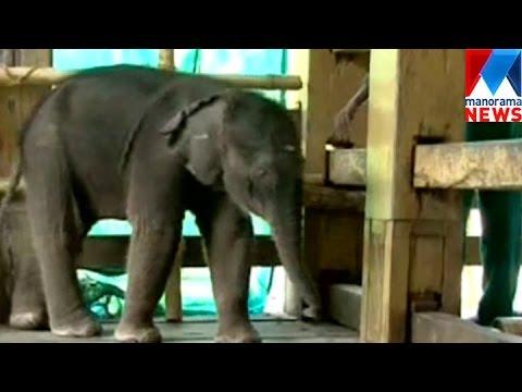 New elephant calf in Konni Elephant tent | Manorama News