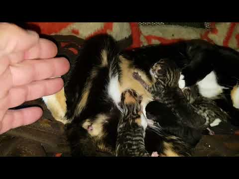 Kittens born and talking about breeding with tigers!