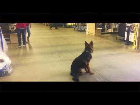 7-Month Old German Shepherd, Ripley!  Boarding and Training Virginia, DC, and Maryland