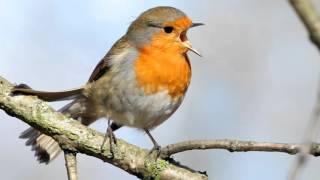 Amanhecer ao canto de 3 pássaros (3 horas)