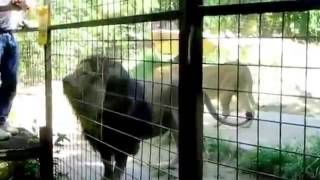 Download Video Lion vs Tiger - zoo in everland MP3 3GP MP4