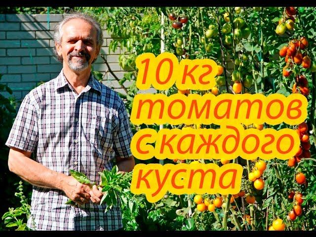Помидоры. 10 кг томатов с каждого куста. Как этого достичь. Реальный опыт.