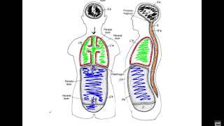 Unit 1 - Video 7 - Body Cavity Diagrams