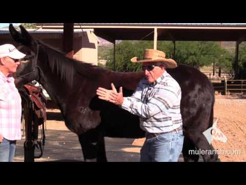 Structure of a Mule - Differences Between Mules and Horses | Steve Edwards