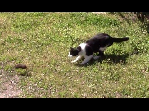 bob the feral farm cat killing a rat youtube. Black Bedroom Furniture Sets. Home Design Ideas