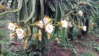 Florada da Pitaya  Dragon Fruit, Vermelha Auto  Fértil
