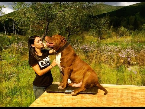 """173-Pound Pit Bull Named """"The Hulk"""" Definitely Lives Up to His Name"""