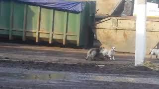 Кошка  против  три собаки