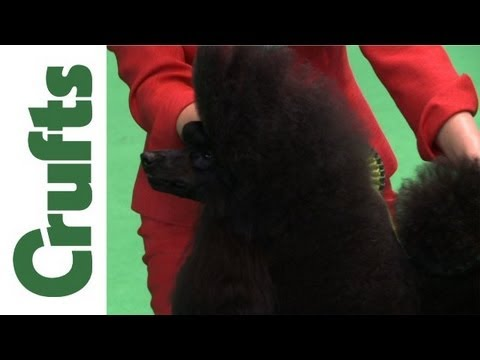 Crufts 2012 - Best of Breed Miniature Poodle