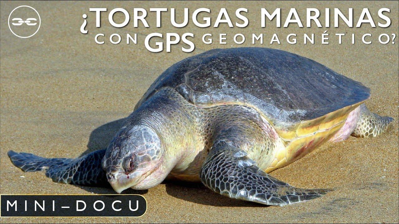 ¿Tortugas Golfina bebés con GPS Geomagnetico?