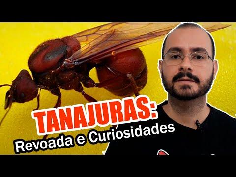 tanajuras:-o-voo-nupcial-das-formigas-fêmeas-virgens-das-saúvas