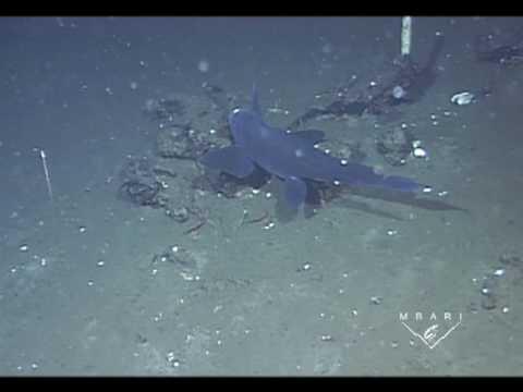 Pacific Black Ghost Ratfish (Chimaera)