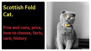 Scottish Fold Cat. Pros and Cons, Price, How to choose, Facts, Care, History