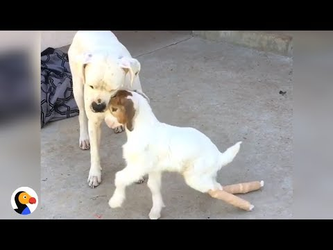 Chance The Goat Loves to Head Butt His Dog | The Dodo