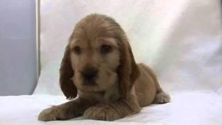 かわいいイングリッシュコッカースパニエルの子犬が誕生しました! ブリ...