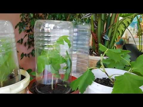 Летнее черенкование смородины для размножения