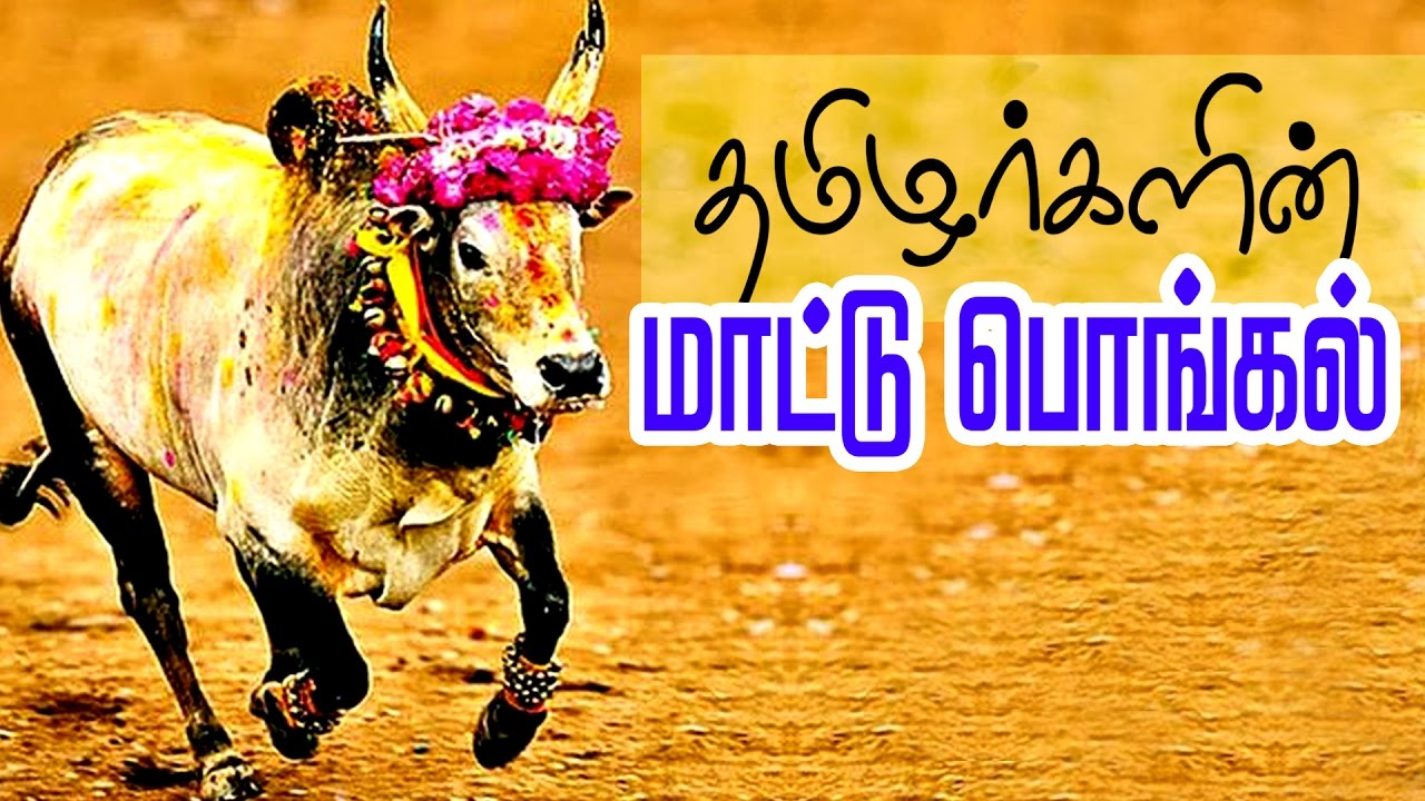 Mattu pongal celebration in tamil jallikattu festival of tamil mattu pongal celebration in tamil jallikattu festival of tamil nadu m4hsunfo Gallery