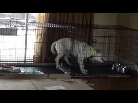 Labradini (Labrador + Houdini) escapes from his crate.