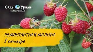 КАРАМЕЛЬКА - собираем урожай малины в октябре  в поле Питомника Сады Урала. 1 октября 2016