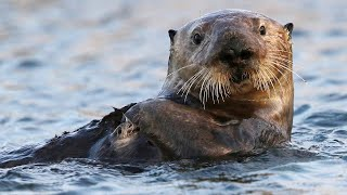 Sea Otters A Day in the Life  Cute Baby Animals  Love Nature