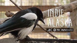 George the Magpie | INDIE ALASKA