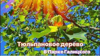😲В Парке Галицкого Тюльпановое дерево расцвело Весна 2021