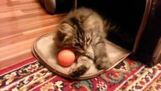 порода кошек   сибирская