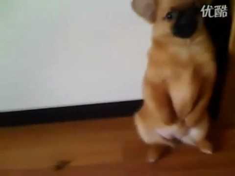 Chó con nhận lỗi đứng trên 2 chân thật xúc động